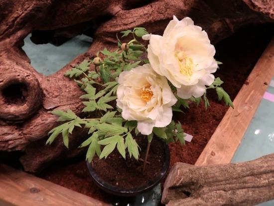 道の駅日光 牡丹室内庭園 黄冠