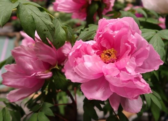 道の駅日光 牡丹室内庭園 春の粧