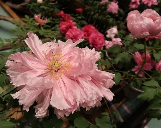 道の駅日光 牡丹室内庭園 大門桜