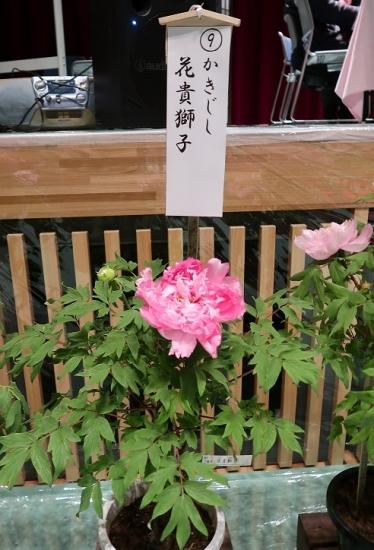 道の駅日光 牡丹室内庭園 花貴獅子