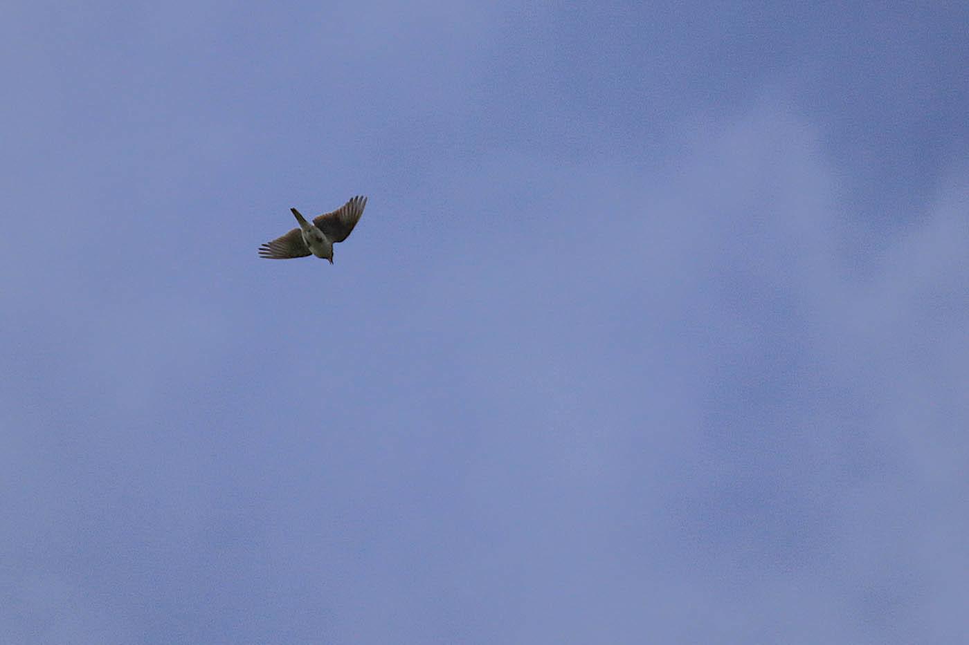 ◎L●STP2019・4・8福島潟鳥_375 (1 - 1)