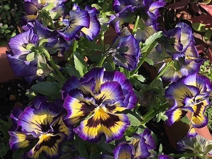 3112019 Pansy S3