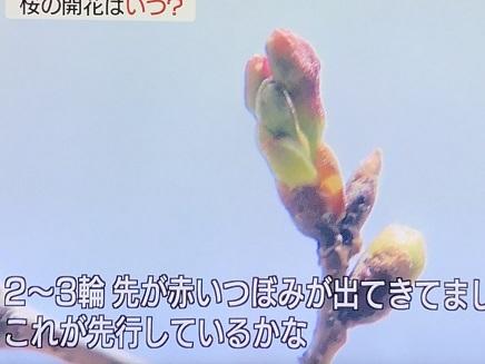 3182019 桜開花 東京 S1