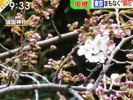 3212019 桜開花宣言 S1