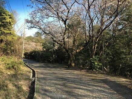 4032019 大空山桜 S1