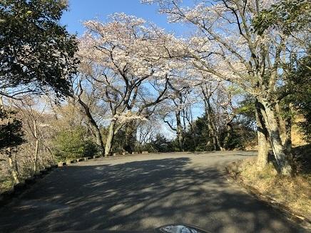 4032019 大空山桜 S2