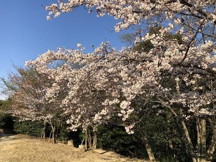 4032019 大空山桜 S3