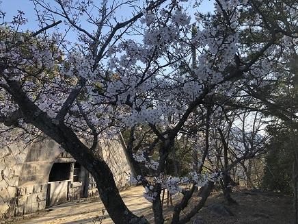 4032019 大空山桜 S5