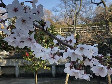 4032019 大空山標準木桜 S4