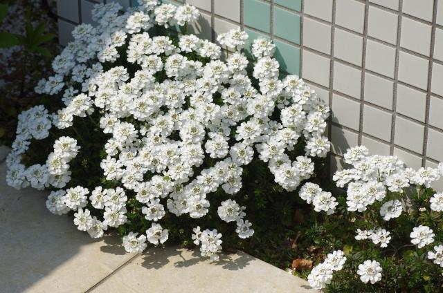イベリス 花壇