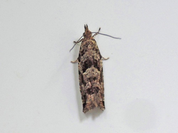 マダラスキバヒメハマキ
