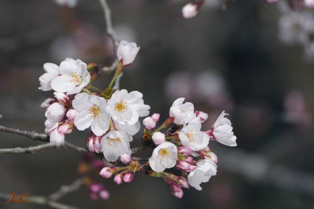 201960331桜_菅塩沼13