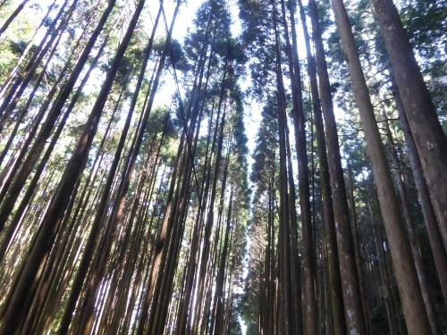 クマノザクラ(古座川町明神)2019.3.16-33