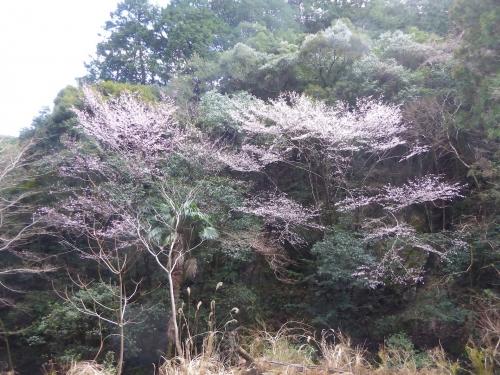 クマノザクラ(古座川町明神)2019.3.16-43