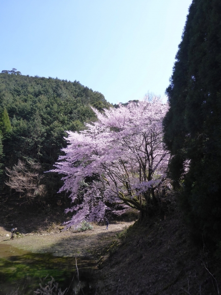クマノザクラ(古座川町明神)2019.3.16-56