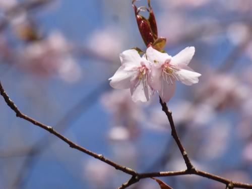 クマノザクラ(古座川町明神)2019.3.16-60