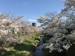 Cherry tree breaking news ...!③