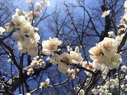 春ちゃんの梅が満開です(^^)