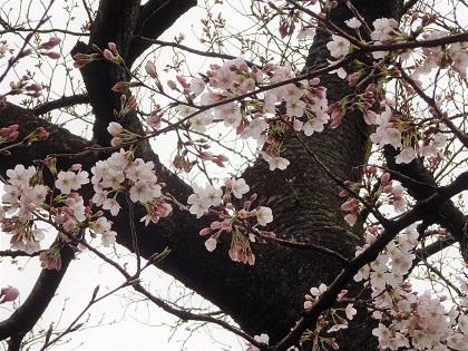 桜が咲いていてうれしかった♪