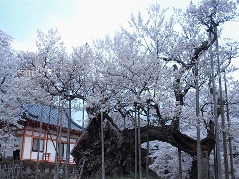 桜 樹齢2000年 天然記念物
