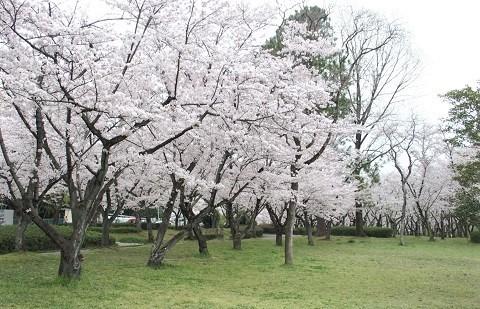 名古屋市の桜