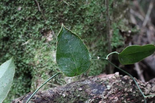 ササバサンキライ20190228-1
