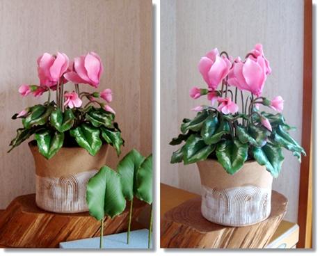 ピンクシクラメンプラス葉