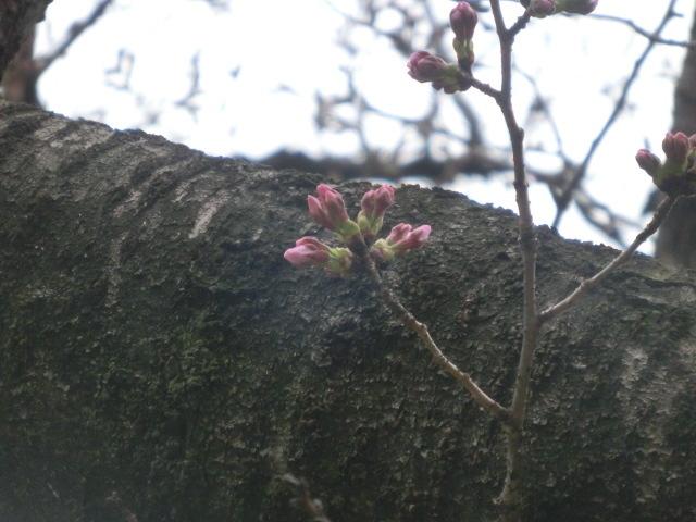枝のつぼみ