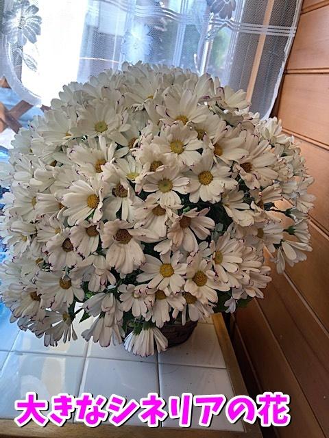 大きなシネリアの花