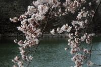 BL190401大阪城の桜3IMG_2487