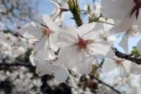 BL190401大阪城の桜6IMG_2481