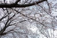 BL190402近所の桜1IMG_2498