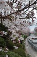 BL190402近所の桜5IMG_2524