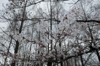 BL190402近所の桜7IMG_2533