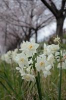 BL190402近所の桜8IMG_2546