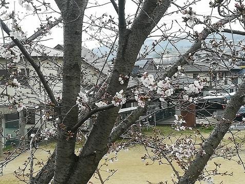 5 桜はチラホラ