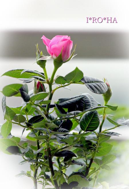 薔薇p_1699