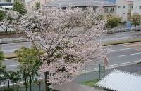 寒桜が満開に