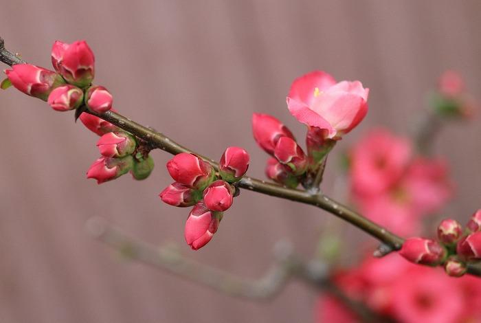 木瓜の花つぼみも 前庭 31 3 25