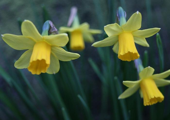 ラッパ水仙 小さい花 31 3 25