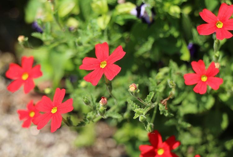 善通寺病院の花壇の花 30 9 5