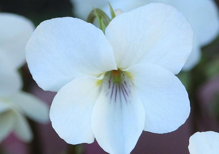 ヒゴスミレの花 前庭に 31 3 17
