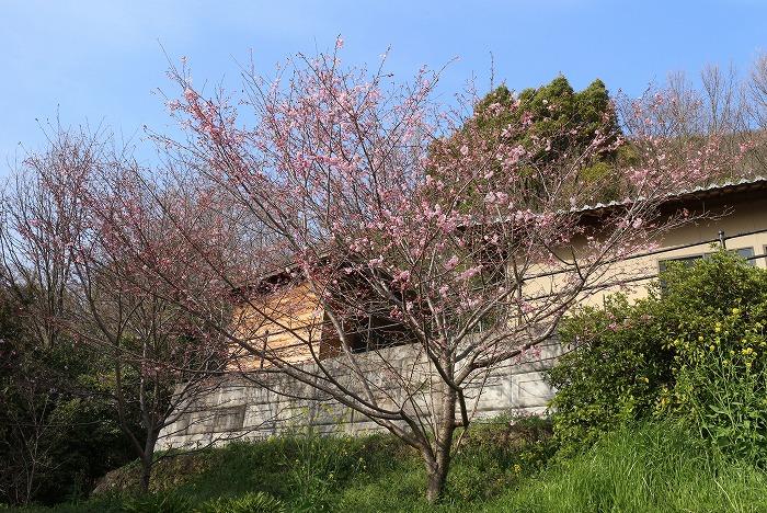 江戸彼岸桜 31 3 27