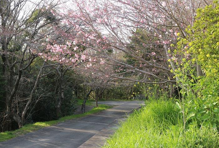 桜のトンネル遍路道 31 3 27