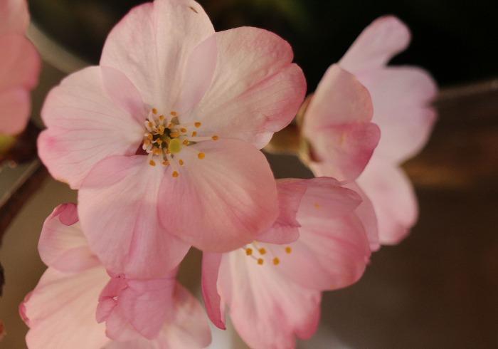エドヒガンの花 大師堂の下の桜 31 3 27