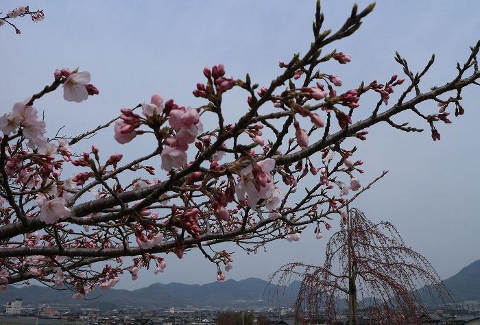 宗吉 彼岸桜と 枝垂れの桜 31 3 28