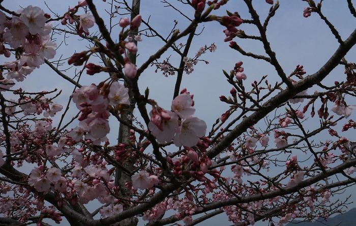 宗吉の史跡公園の彼岸桜 31 3 28