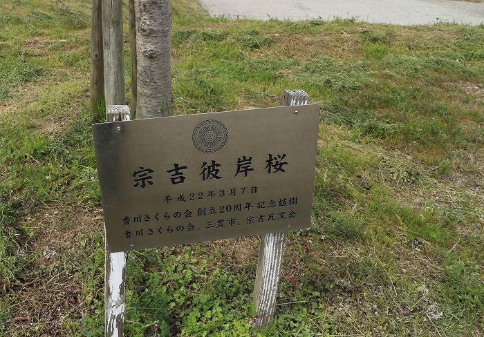 宗吉 彼岸桜 桜の会より 31 3 28