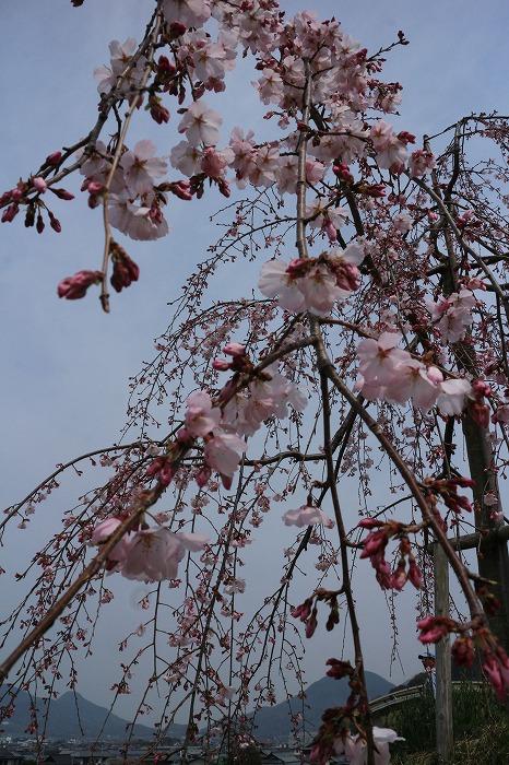 枝垂れの桜下から 31 3 28