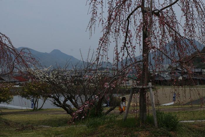枝垂れの桜と幼子 31 3 28